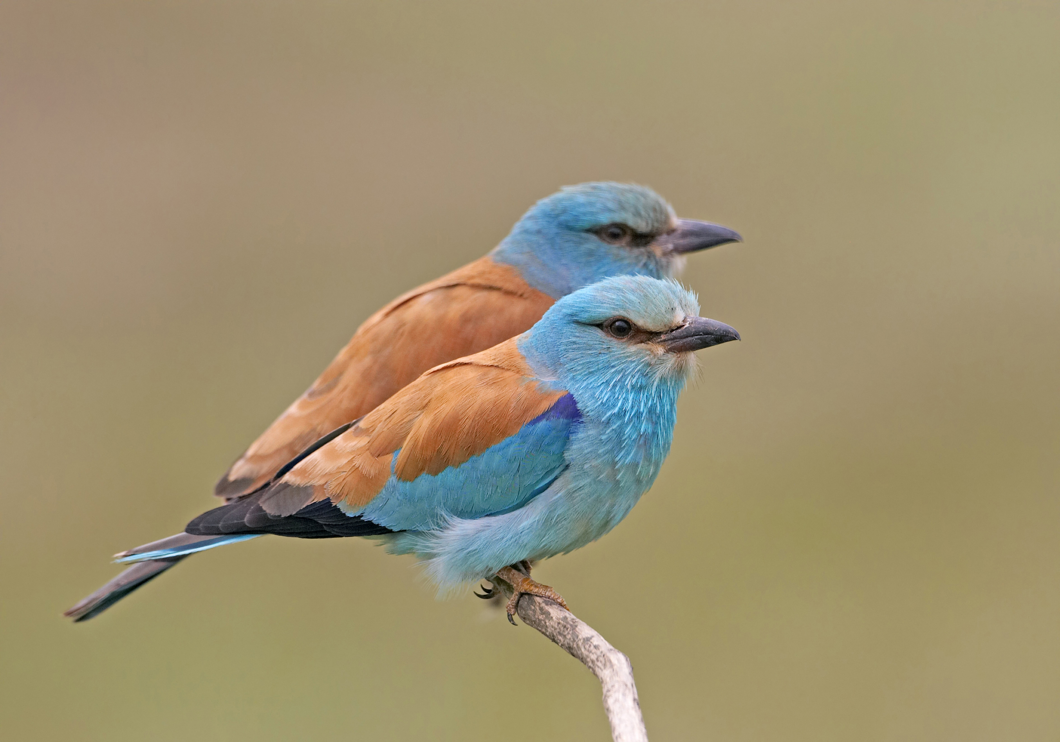 European Roller. Photo: Markus Varesvuo