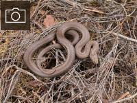 Retā gludenā čūska. Foto: Ieva Mārdega.